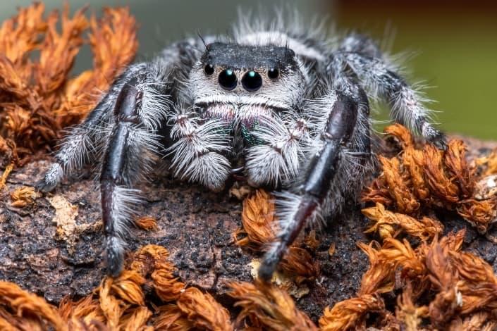 una especie rara de araña en una roca
