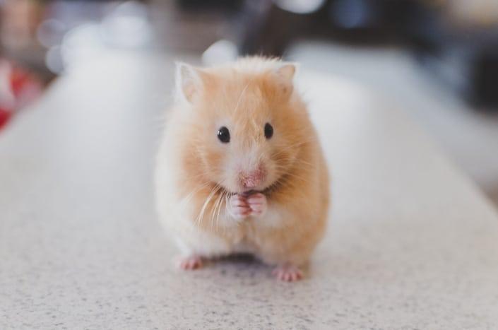 183. ¿Preferirías un hámster o un conejo como mascota_