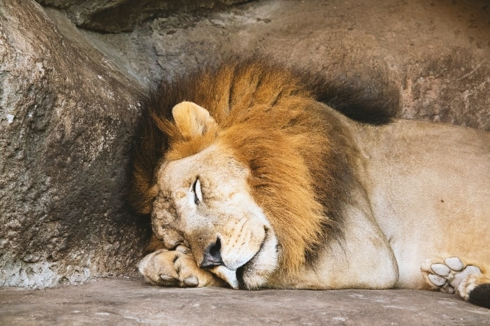 lion sleeping by the rock